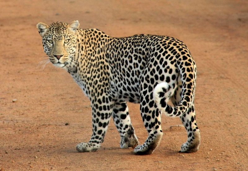 Leopard on African safari