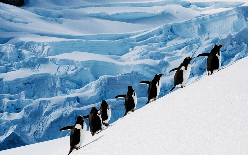 Penguins climbing