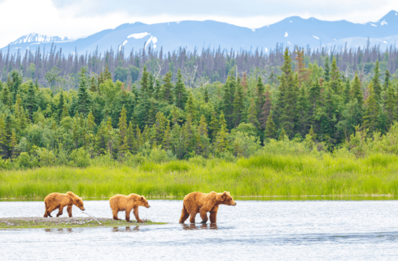Bear Family Alaska